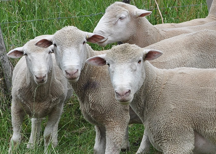 Eadon Sheep
